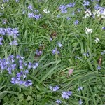 Bluebells,  Drayton Hall Park, West Drayton