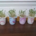 Cress Heads using recycled yoghurt pots