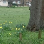 Daffodills, The Green, West Dratyton