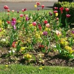 Tulips, Harmondsworth